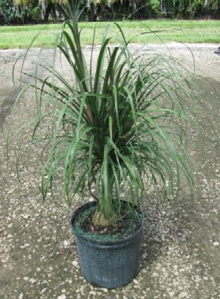"10"" Ponytail Palm"