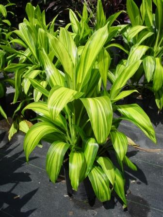 "10"" Cordyline Lemon Lime"