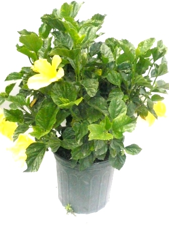 "10"" Hibiscus Bush Yellow"