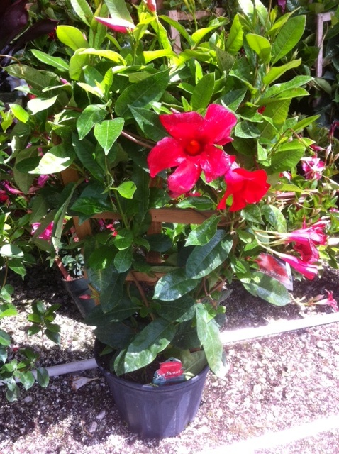 "10"" Mandevilla Trellis Giant Red"
