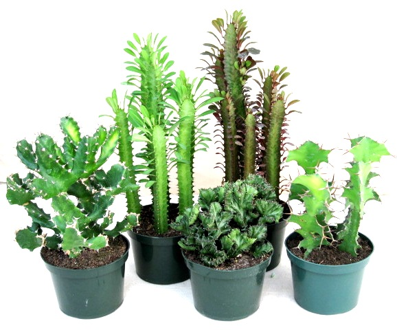 "10"" Euphorbia assortment"
