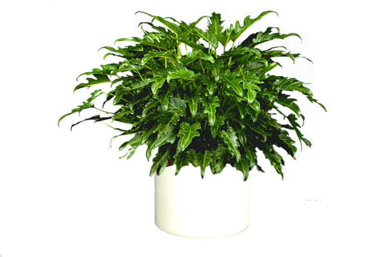 "10"" Philodendron Selloum"
