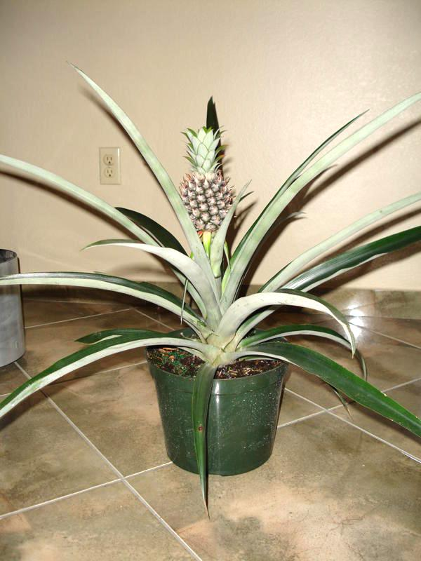 Home foliage plants 10 floor plants 10 pineapple plant