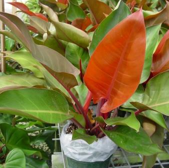 10 Philodendron Prince of Orange - $12.95 : Z Plants, the ...