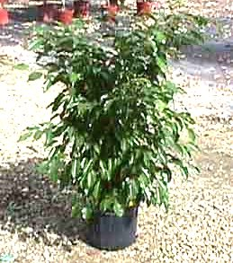 "8"" Ficus Wintergreen Bush"