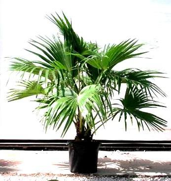 "12"" Chinese Fan Palm"