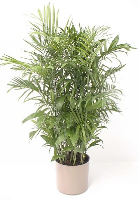 "10"" Bamboo Palm - Click Image to Close"