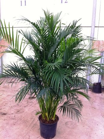 Cataractarum Palm 14quot; quot; catquot; palm