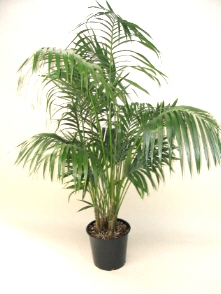 "14"" Kentia Palm"