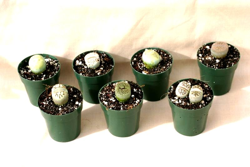 "2"" Lithops - Click Image to Close"