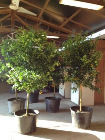 30 Gallon Calomondin Orange Tree