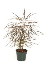 "3"" False Aralia"