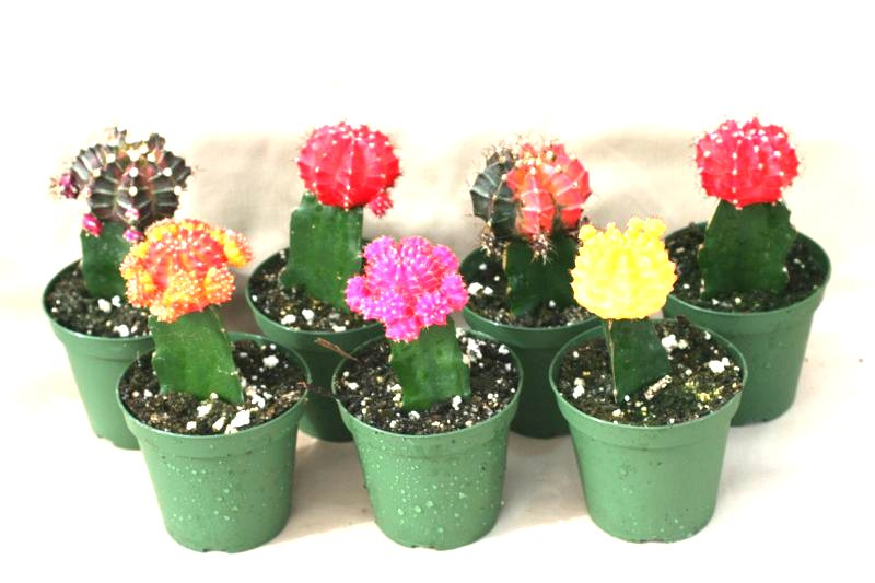 "3"" Grafted Color Top Cactus"