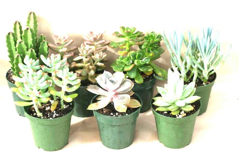 "3"" Succulents - Click Image to Close"