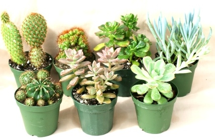 "4"" Cactus Assortment"