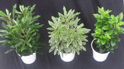 "4"" Aralia Assortment"