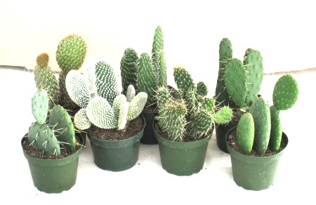 "4"" Cactus Opuntia - Click Image to Close"
