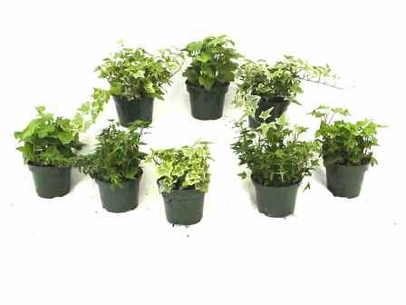 "4"" Ivy Assortment - Click Image to Close"
