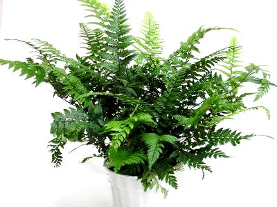 "4"" Korean Rock Fern"