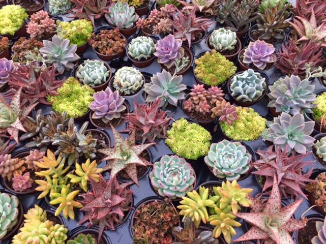 "4"" Succulents - Click Image to Close"