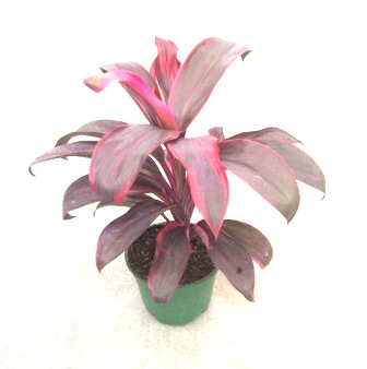 "6"" Cordyline Ruby"