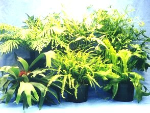 "6"" Fern Assortment"