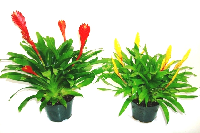"6"" Bromeliad Vriesea Multi Bloom"
