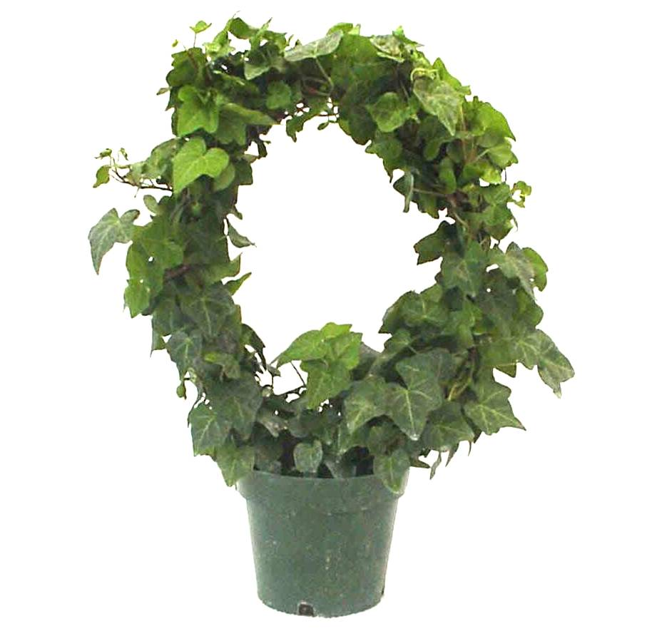 "6"" Ivy Hoop / Wreath"