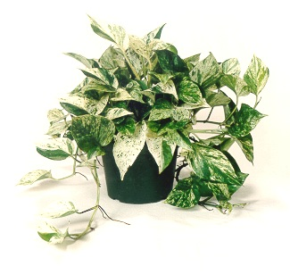 "6"" Marble Queen Pothos - Click Image to Close"