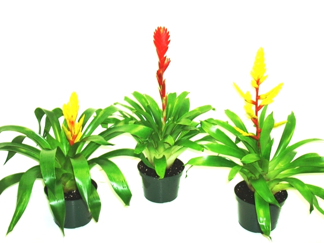 "6"" Bromeliad Vriesea Single Bloom"