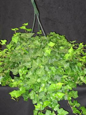 "10"" Ivy Hanging Basket - Click Image to Close"