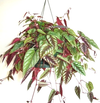 "8"" Cissus Discolor Hanging Basket"