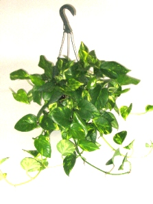 "8"" Golden Pothos"