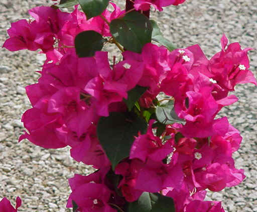 "10"" Bougainvilla Bush Red"
