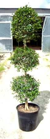 "10"" Eugenia Globulus 3 Head Topiary"