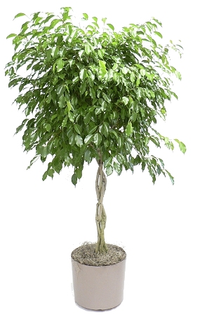"10"" Ficus Wintergreen Braided Standard"