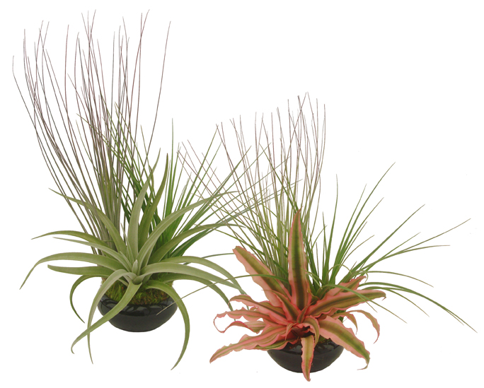 Tillandsia Bare Root Assortment