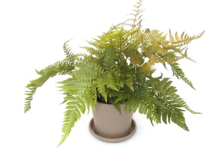 "6"" Autumn Fern"