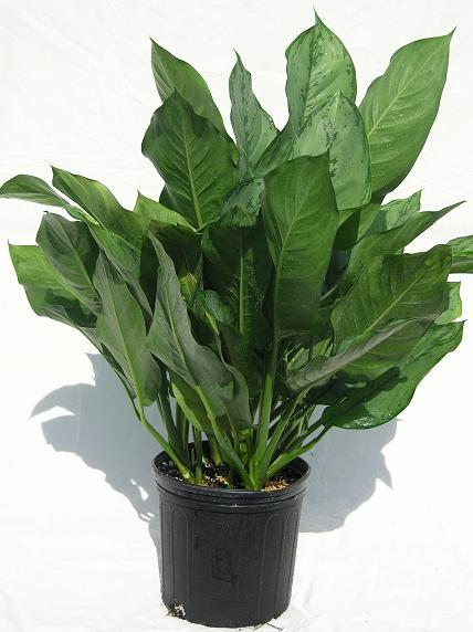 "10"" Aglaonema BJ Freeman"