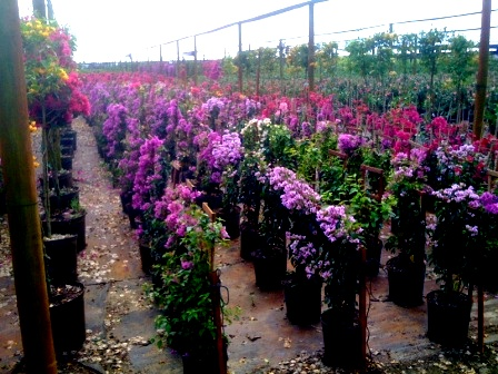 "10"" Bougainvilla Trellis Purple"