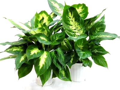 "6"" Dieffenbachia Assortment"