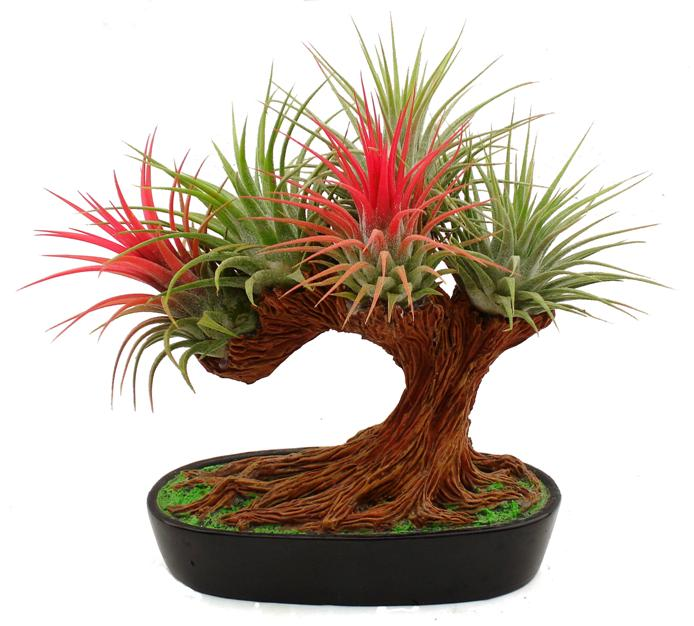 Ionantha Bonsai Tree