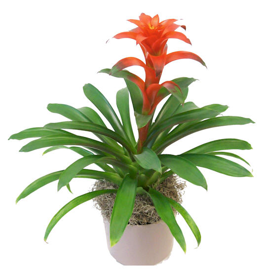 "6"" Guzmania Assortment"