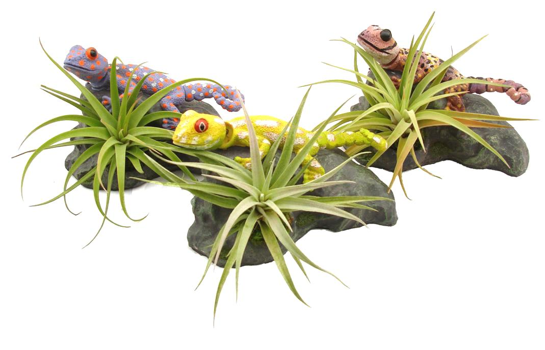 Tillandsia Lizard Collection