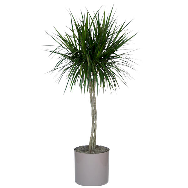 10 dracaena marginata braid z plants the best for Dracaena marginata
