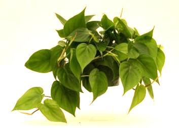 "4"" Philodendron Cordatum - Click Image to Close"