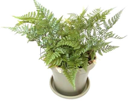 "6"" Rabbit Foot Fern"