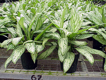"6"" Aglaonema Silver Queen"