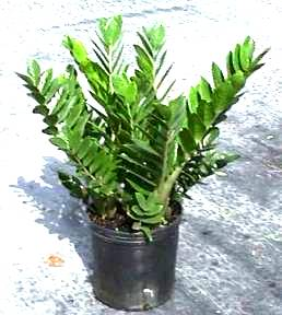 "10"" Z Z Plant - Click Image to Close"